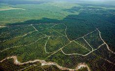 Sejarah usaha perkebunan kelapa sawit di Indonesia sejak jaman kolonial hinga saat ini.