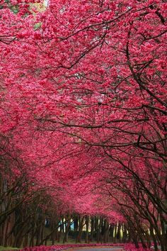 pink blossom trees #photography #travel