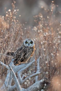 Short-eared Owl by Gregory Lis - Photo 126262619 - 500px