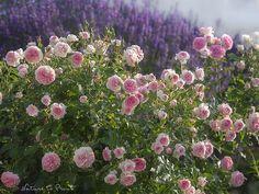 Larissa vor Lavendel