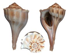 whelk shell - Google Search