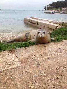 Mittelmeer-Mönchsrobbe in Pula Foto: Boris Mujesić http://www.gradpula.com/vijesti/sredozemna-medvjedica-na-mornaru/ #Mittelmeer #Mönchsrobbe #Pula #Tiere #Istrien #Kroatien #Natur