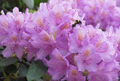 Ihanat rododendronit 2012