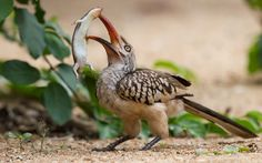 A red-billed hornbill attempts to eat a large lizard near Satara in Kruger National Park, South Africa  by Massimo Da Silva