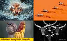 30 Best Award Winning Wildlife Photography examples around the world. Read full article: http://webneel.com/best-award-winning-wildlife-photography-inspiration | more http://webneel.com/wild-life | Follow us www.pinterest.com/webneel