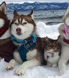 Oh, is that a husky of a new breed? LOL