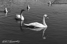 #followtheleader #fineart #photography #holyrood #park #Edinburgh #scotland watching #seagulls #Swans  chasing #breadcrumbs thrown in the lake. #Nature #water  #birds #Travel #discover #photooftheday  #bnw_life #instagram #bnw_captures #amazingtravelbeauty #bnw #nikon #loch #blackandwhitephotography #monochrome #nikonphotography #instatravel #instagood #nikonnofilter #wanderlust