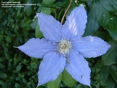 Full size picture of Clematis 'Alice Fisk' (Clematis)