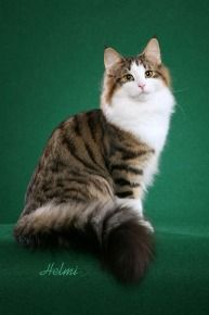 Click to learn about the history, personality, common traits and health issues for the Norwegian Forest Cat. (Photo courtesy of TICA)