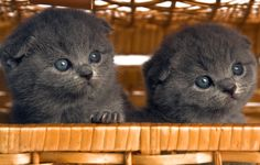 British shorthair and Scottish Fold kittens in Montreal Crazy Cat Lady, Crazy Cats, Baby Animals, Cute Animals, Scottish Fold Kittens, Cattery, Pet Birds, Cute Cats, Dog Cat