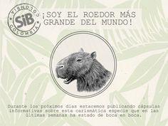 CHIGÜIRO: El roedor más grande del munco