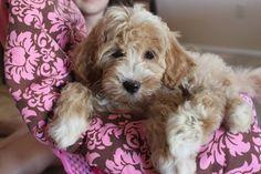 Introducing…. Australian Multigen Labradoodle Puppy – Maple!