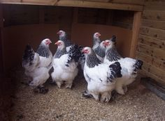 Brahmas - Brown Eggs.  Fluffy looking.  Good mothers- can hatch others eggs.  Good meat birds.  Feet are feathered, come in several colors and combos.  Withstand cold well.  Calm & easy to handle.