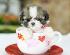 grumpy tea cup puppy that likes its mom only