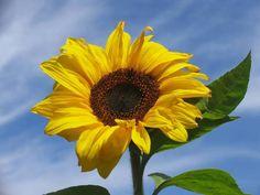 IL SIGNIFICATO DEI #FIORI  #GIRASOLE  E' detto anche Elianto. Appartiene alla famiglia delle composite, poichè durante le ore della giornata il fiore gira volgendosi al sole, per taluni simboleggia adulazione, per altri riconoscenza verso l'astro che gli permette di vivere.