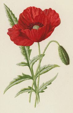 Poppy Painting - Common Poppy by Frederick Edward Hulme Poppy Flower Painting, Poppy Drawing, Flower Art, Flower Beds, Flower Crafts, Watercolor Poppies, Red Poppies, Poppy Flowers, Poppies Painting