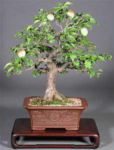Bonsai - Manzano