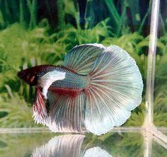 #214 Thai Import Blue White Butterfly Dumbo Big Ear Halfmoon Male Betta Fish