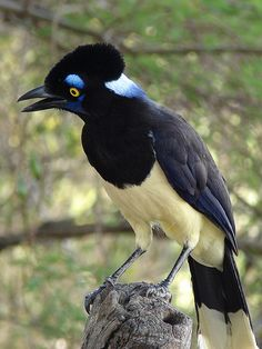 The Plush-crested Jay (Cyanocorax chrysops) is a jay of the family Corvidae (which includes the crows and their many allies). It is found in central-southern South America: in southwestern Brazil, Bolivia, Paraguay, Uruguay, and northeastern Argentina, including southern regions of the Amazon Basin river systems bordering the Pantanal.