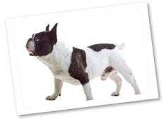 French Bulldogs are a popular small breed due to their comical and playful nature. This breed is easy-going and loving and gets along with just about anyone. They make good apartment dogs as they require little exercise.