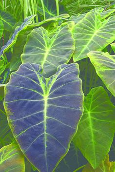 Colocasia esculenta var. antiquorum 'Black Beauty' (Black Beauty Elephant Ear)