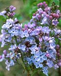 "Lilac | ""Little Boy Blue"" 
