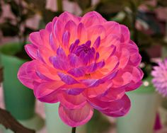 Dahlia, Brookside Gardens, Imagination A Photograph by Roy Kelley using a Canon PowerShot camera. Roy and Dolores Kelley Photographs Beautiful Flowers Garden, Unique Flowers, Exotic Flowers, Amazing Flowers, Beautiful Roses, My Flower, Pretty Flowers, Cactus Flower, Best Flowers