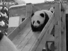 Bébés pandas qui font du toboggan au zoo
