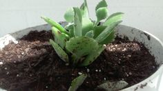My Kalanchoe Millotii (another succulant) named Haiku! :) he's still a baby..