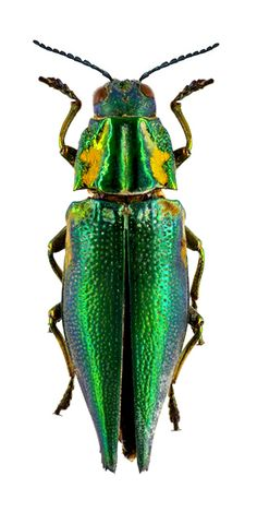 Cyphogastra fcallipyga, look at the yellow with the green and black, beautiful! (but I would not want it in my house)