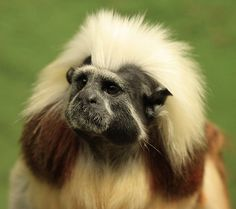 Cotton Topped Tamarin (Saguinus oedipus), Colombia, one of the smallest New World primates at about 1 pound.