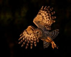 Originally an inhabitant of the Eastern U., the Barred Owl has expanded its territory to include the Pacific Northwest and parts of Calif. Saw Whet Owl, Barred Owl, Tree Images, Owl Bird, Birds Of Prey, Bird Watching, Bird Feathers, Wildlife Photography, Birds In Flight