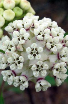Asclepias variegata - White/Red-Ring Milkweed