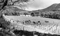 Cultivating Vineyards at Groot Constantia - 1952 History Of Wine, Table Mountain, Places Of Interest, African History, Cape Town, Homeland, Old Photos, South Africa, Photo Art