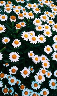 maileegoddardphotography Daisy Wallpaper, Iphone Wallpaper, Daisies, Sunflowers, Wall Papers, Aesthetics, Backgrounds, Humor, Photos