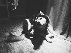 #Siberian #Husky #dogs # Nano