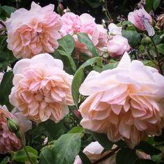 """""""Desprez à fleurs jaunes """" ( Noisette rose 1830)"""