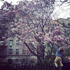 Outside my apartment in full bloom Love the little boy touching the tree