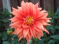 Gorgeous Dahlia from my garden