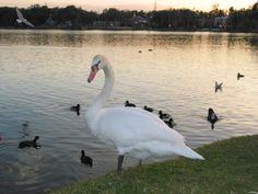 One of the many beautiful swans @ Lake Morton in Lakeland