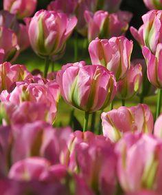 Pink & Green Greenland Tulip Bulb - Set of 10 |