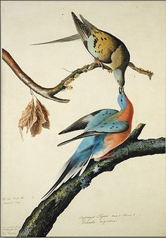 The Passenger Pigeon is now extinct  (painting by  John James Audubon)
