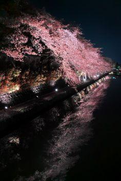 Kyoto hanami ( cherry blossoms )/Japan :: (Azul Obscura)