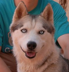 Seymour is a robust young Siberian Husky debuting for adoption today at Nevada SPCA (www.nevadaspca.org).  He is 2 years of age, housetrained, and now neutered.  Seymour has no interest in toys, as his focus is being with other large dogs and kids.  If left alone, he reportedly will try to jump the wall to find companionship.