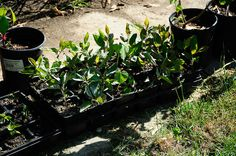 start your own apple trees from seeds, gardening, homesteading, Watch them grow