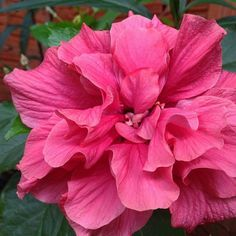 """1 Likes, 2 Comments - Isac Maia (@isacsmaia) on Instagram: """"- #hibiscus"""""""