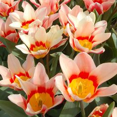 Creamy white petals mature to the same soft reddish pink shade as a strawberry milkshake, and open to reveal contrasting zones of red and deep golden yellow.