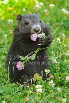 Young,-melanistic-woodchuck-eating-red-clover-blossoms.