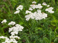 Foraging in July: wild food to look out for this month  -  yarrow (Achillea millefolium)