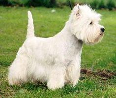 West Highland White Terriers - Full of Confidence & Spirit